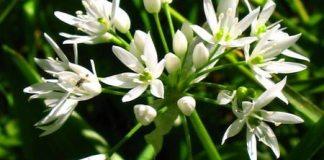 Ramsons_Wild_Garlic_-_Allium_ursinum