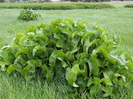 Armoracia_Rusticana,horseradish