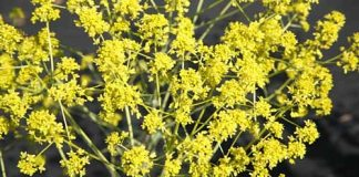 uses for woad plant