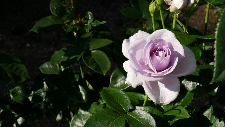 このバラが欲しい【ブルーバユー】@京都府立植物園