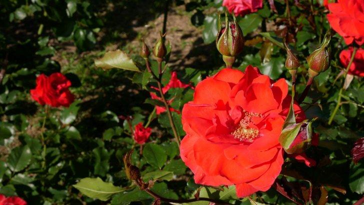 ドイツ作出のバラ【アホイ】@京都府立植物園