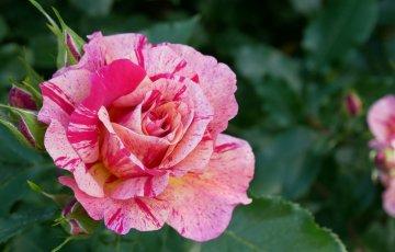絞りの入ったバラ【エドガー・ドガ】