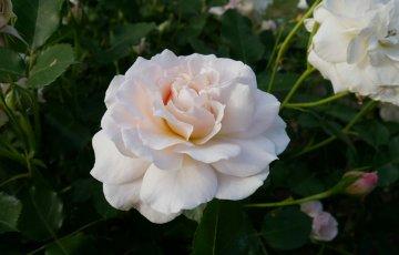 柔らかな彩り、質感のバラ【シュシュ】