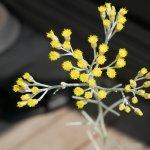 カレープラントの花