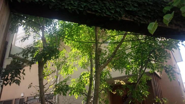 玄関前のシマトネリコ