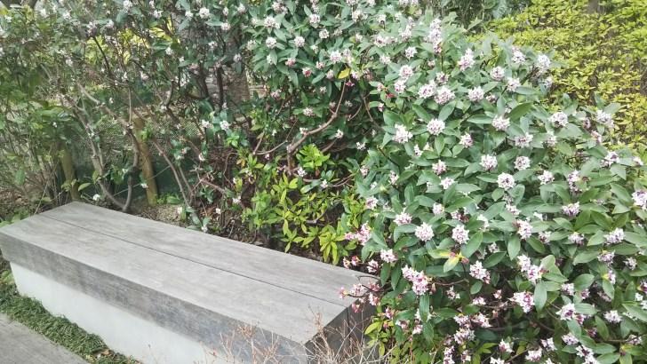 庭のイスを囲む沈丁花