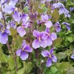 ムラサキハナナ 十字の4枚花が可憐
