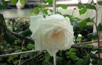 日本発の白バラ【新雪】