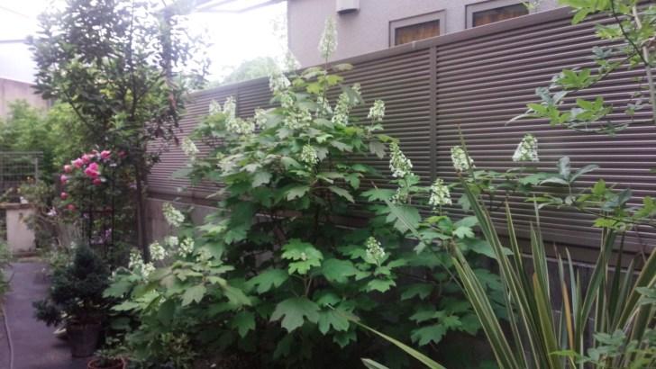 大きくなったカシワバアジサイ(5月下旬) このあと花が垂れてくる