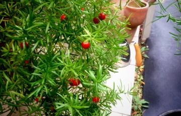 アスパラガス・スプレンゲリの赤い実