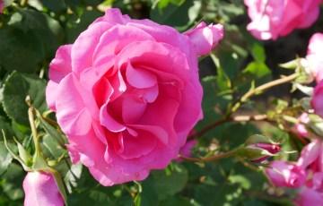 和製の色鮮やかなバラ【うらら】