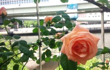 つるバラ【ルーピング】@中之島バラ園