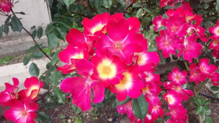 赤と黄のカクテルが美しいバラ!その名も【カクテル】