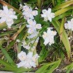 シャガ(射干) アヤメ科の多年草