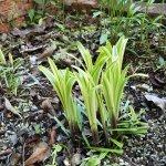 5月のヤブラン 古い葉をバッサリ