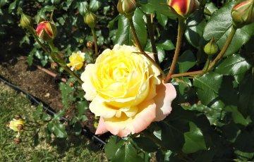 オサケンが産んだバラ【トロピカルシャーベット】