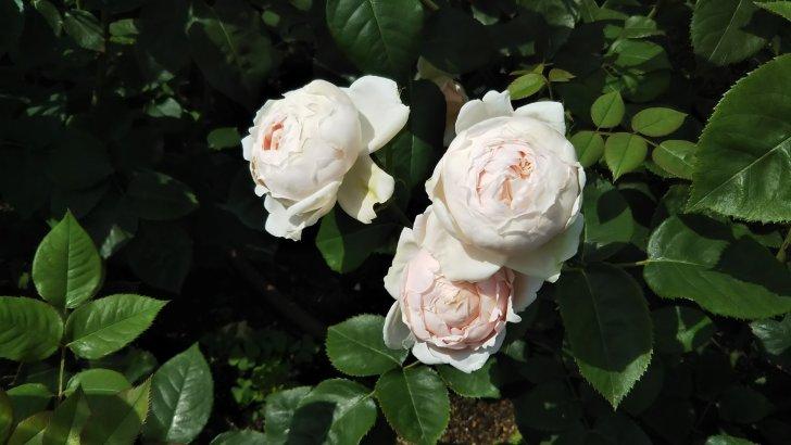 開花が始まったアンブリッジローズ
