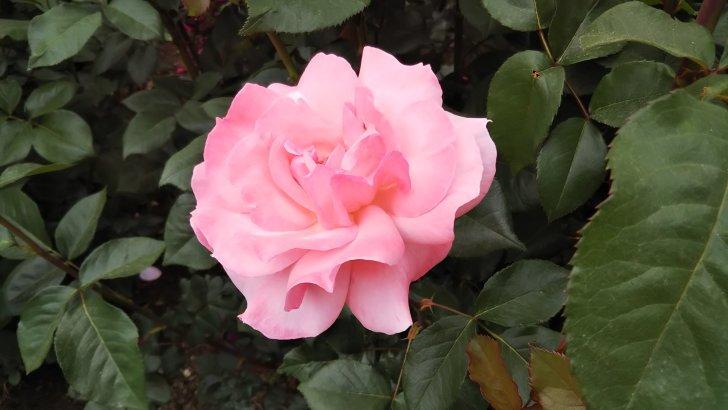 世界バラ殿堂入りの名花【クイーン・エリザベス】京都府立植物園 バラ園にて☺️イイネ
