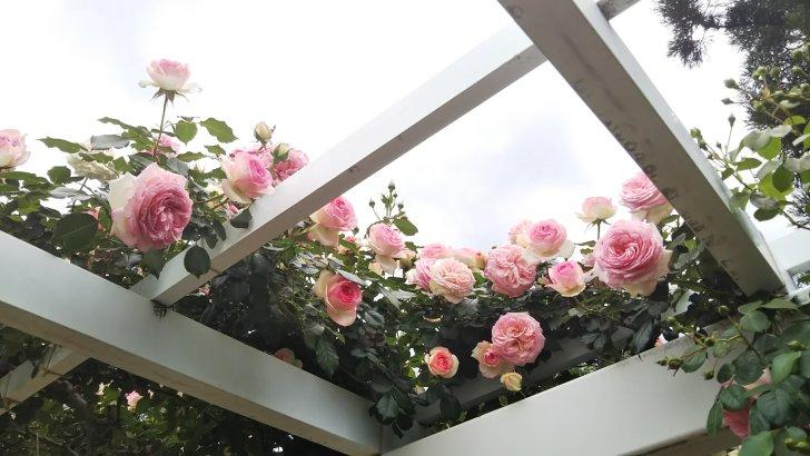京都府立植物園のピエール ド ロンサール