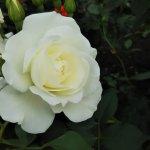 超有名な白バラ【アイスバーグ】京都府立植物園 バラ園にて☺️イイネ