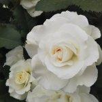 【マーガレット メリル】京都府立植物園 バラ園にて☺️イイネ