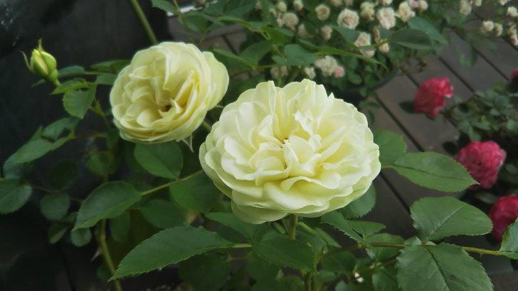 バラ【クリーミーエデン】はじめての開花。