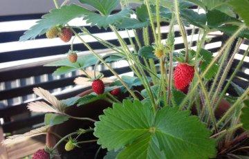 5月のワイルドストロベリー【鉢植え推奨】