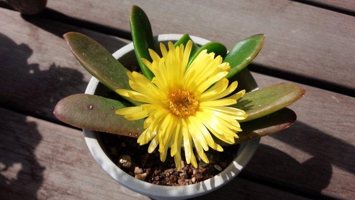 グロッチフィルム リンギフォルメ【宝禄】毎年確実に美しい花を咲かせてくれる