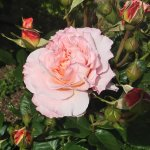フリルが美しいバラ【アウグスタ・ルイーゼ】
