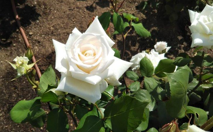 100年の時を経て今なお美しい白バラ【マダム ジュール ブーシェ】
