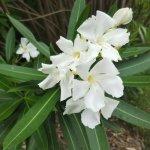 キョウチクトウの花。フリルのような花弁が5枚