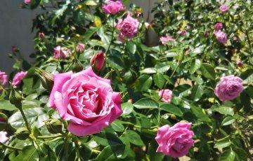ハンガリー作出のバラ【セントエリザベス】