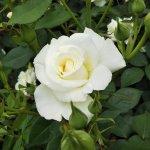 和製の白バラ【銀嶺】京都府立植物園にて