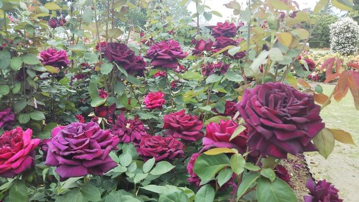 『黒バラ』と呼ばれる濃厚な紅バラ【オクラホマ】京都府立植物園 バラ園にて☺️イイネ!