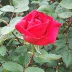 紅バラ【グランドマスターピース】
