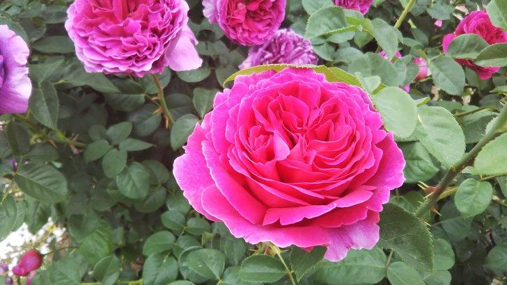 【オセロ】色の変化が美しい大輪のバラ
