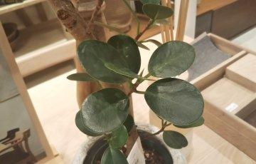 【パンダガジュマル】の葉。ガジュマルに比べてかなり丸い