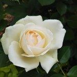 【プリンセス オブ ウェールズ】京都府立植物園 バラ園にて☺️イイネ