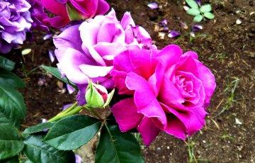 深い赤紫の妖艶なバラ【イントリーグ】京都府立植物園 バラ園にて☺️イイネ