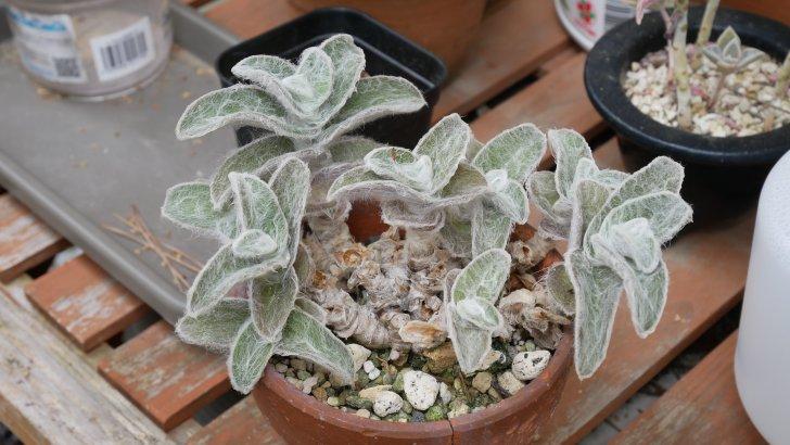 トラデスカンチア【白絹姫】葉が若干くすんでいるような…