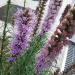 リアトリスは上から下に咲き進む珍しい花