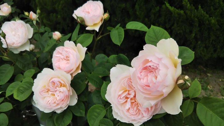 薄桃色のバラ【ジェントルハーマイオニー】