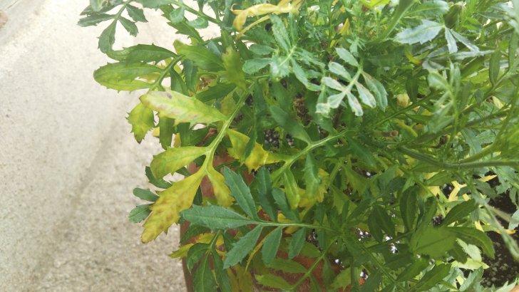 マリーゴールドの下葉が枯れるのは《水切れ》が原因?