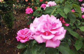 ピンクのバラ【パフューム デライト】府立植物園 バラ園にて☺️イイネ