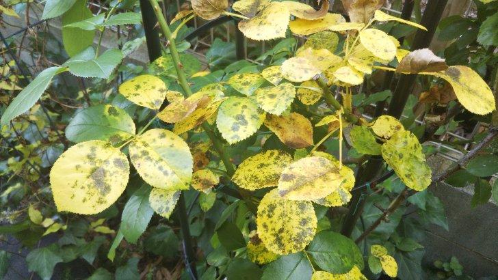 【黒星病】9月、少し気温が下がると再び発生