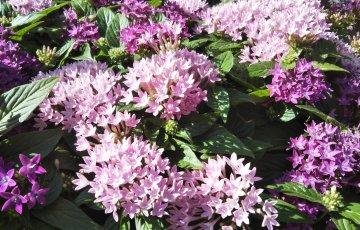 ペンタスの花弁は確かに5枚
