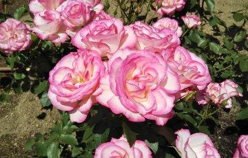 覆輪のバラ【ニコール】中之島公園 バラ園にて☺️イイネ