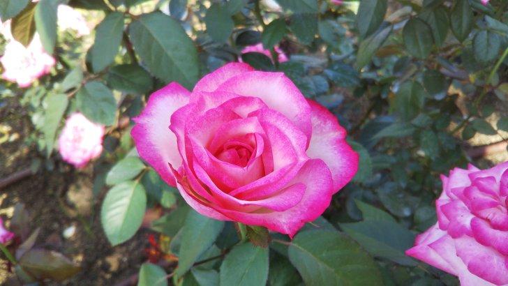 可愛らしいピンクの覆輪【ニコール】@中之島公園 バラ園