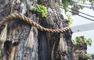 本能寺の「火伏せの銀杏」京都市指定保存樹