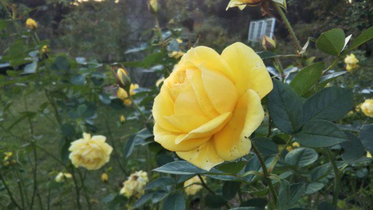 【伊豆の踊り子】@京都府立植物園 バラ園